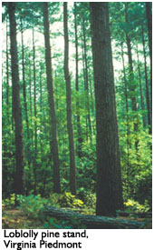 Lobloly Pine Trees, Common to Tidewater Virginia