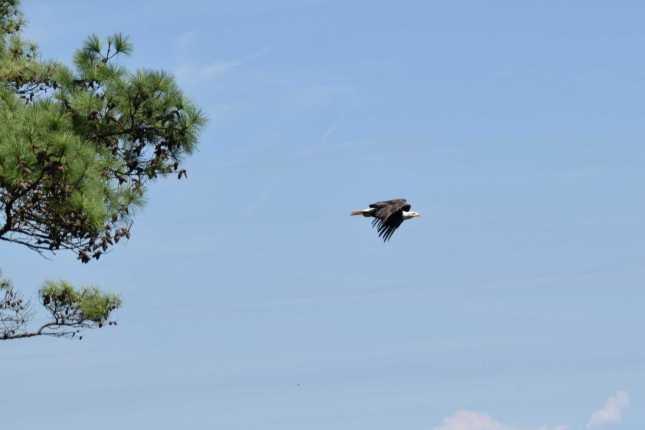 Eagle Flight Reduced