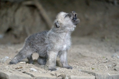 Image result for wolf cubs